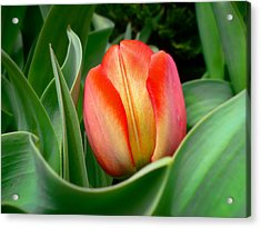 Close-up Of A Young Red Tulip Bloom With Green Leaves In A Spring Flower Bed Acrylic Print by Chantal PhotoPix