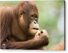 Close-up Of An Orangutan Pongo Pygmaeus Acrylic Print by Tim Laman