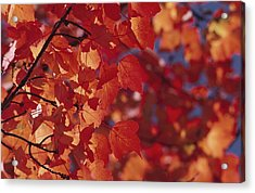Close-up Of Autumn Leaves Acrylic Print by Raymond Gehman
