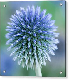 Close Up Of Blue Globe Thistle Acrylic Print by Kim Haddon Photography