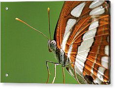 Close Up Of Butterfly Acrylic Print by Annemarie van den Berg