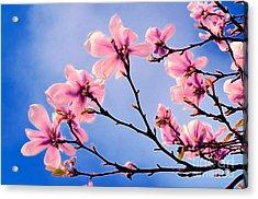 Cherry Blossums Acrylic Print
