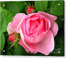 Rose And Rose Buds Acrylic Print