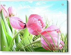 Close-up Of  Spring Tulips  Acrylic Print by Sandra Cunningham