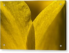Close Up Of The Petals Of A Daffodil Acrylic Print by Todd Gipstein