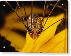 Close View Of A Daddy Longlegs Acrylic Print