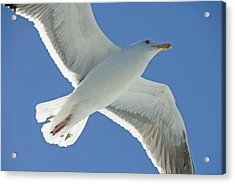Close View Of A Flying Seagull Acrylic Print by Stephen Sharnoff
