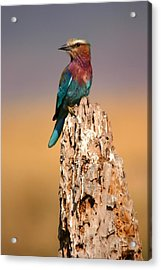 Close View Of A Lilac-breasted Roller Acrylic Print by Roy Toft