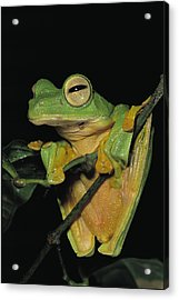 Close View Of A Wallaces Flying Frog Acrylic Print
