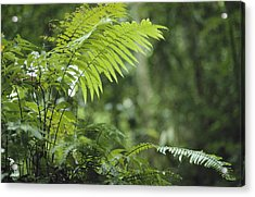 Close View Of Ferns In A Papua New Acrylic Print by Klaus Nigge