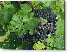 Close View Of Red Grapes On The Vine Acrylic Print by Kenneth Garrett