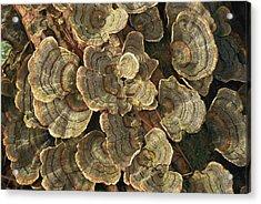 Close View Of Turkey-tail Fungi Acrylic Print