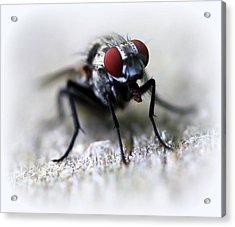 Closeup Of A Fly  Acrylic Print by Maureen  McDonald