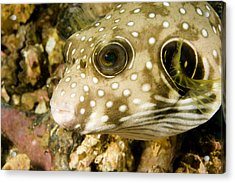 Closeup Of A White Spotted Puffer Fish Acrylic Print by Tim Laman