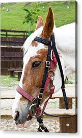 Closeup Of Horse Acrylic Print by Yew Kwang