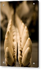 Closeup Of The Teeth Of A Sperm Whale Acrylic Print by Tim Laman