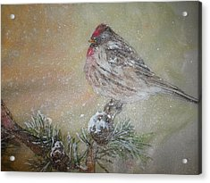 Closeup Red Polls In A Winter Snowstorm Acrylic Print
