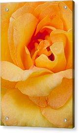 Closeup Yellow Rose Acrylic Print by Atiketta Sangasaeng