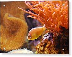 Clown Fish Acrylic Print by Anthony Citro