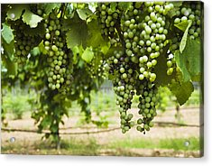Clusters Of Grapes On The Vine At Fall Acrylic Print by James Forte