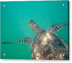 Clyde The Hawaiian Sea Turtle Acrylic Print by Erika Swartzkopf