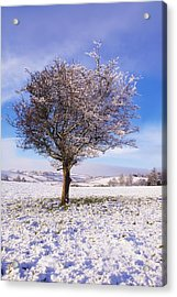 Co Antrim, Ireland Hawthorn Tree Known Acrylic Print by The Irish Image Collection