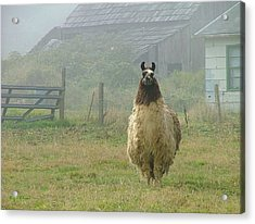 Acrylic Print featuring the photograph Coast Llama by Wendy McKennon