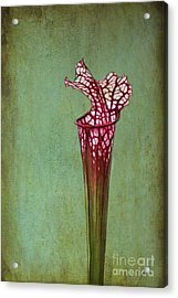 Cobra Lily Acrylic Print