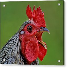 Cock A Doodle Doo Acrylic Print by Paulette Thomas