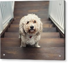 Cockapoo Dog Acrylic Print