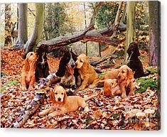 Cocker Spaniel Acrylic Print by Jane Burton