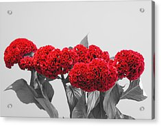 Cockscomb Duochrome Acrylic Print by Christopher Mullard