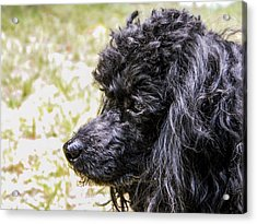 Acrylic Print featuring the photograph Coco Poodle by Ester  Rogers
