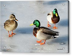 Acrylic Print featuring the photograph Cold Ducks by Stephen  Johnson