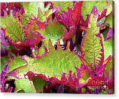 Coleus With Raindrops Acrylic Print by Judi Bagwell