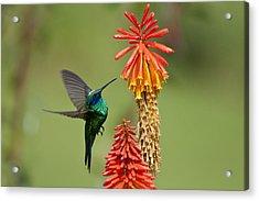 Colibri Coruscans Acrylic Print by Photo by Priscilla Burcher