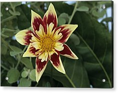Collerette Dahlia Acrylic Print by Archie Young