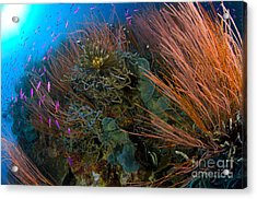 Colony Of Red Whip Fan Coral With Fish Acrylic Print by Steve Jones