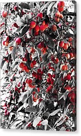 Color Of Apples Acrylic Print by Matt Lewis