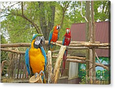 Color Of Parrots  Acrylic Print by J Jaiam