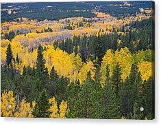 Colorado Autumn Aspens Boulder County  Acrylic Print by James BO  Insogna