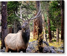 Acrylic Print featuring the photograph Colorado Elk by Nava Thompson