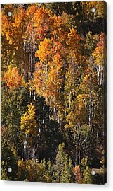 Acrylic Print featuring the photograph Colorado Flaming Aspen by Drusilla Montemayor