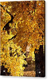 Colorado Gold Acrylic Print