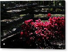 Colorful Azaleas Acrylic Print
