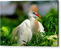 Colorful Cattle Egret Acrylic Print