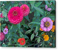 Colorful Zinnia Flowers Acrylic Print by Padre Art