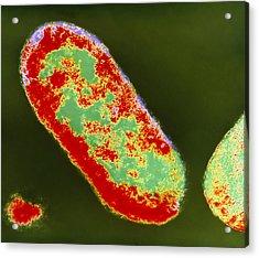 Coloured Tem Of Shigella Sp. Bacteria Acrylic Print by London School Of Hygiene & Tropical Medicine