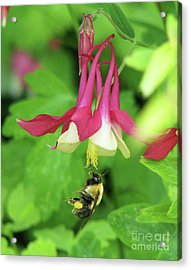 Acrylic Print featuring the photograph Columbine And Bee by Michele Penner