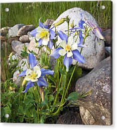 Columbine Colorado State Flower Acrylic Print